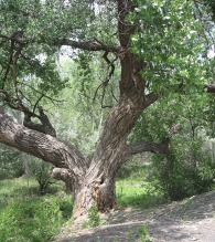 Tree Along the Gallinas