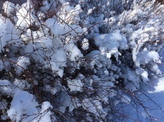 Bridal Wreath in Winter