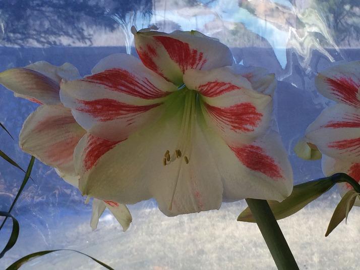Amaryllis in Bloom