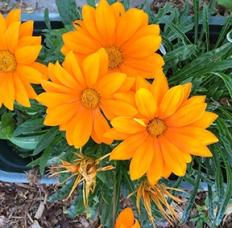 Orage Flowers