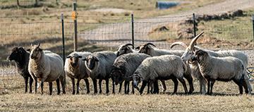 Stonefield Sheep